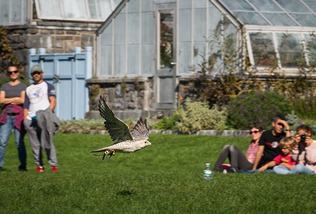 Peek at the fall foliage at Wave Hill, plus falcons and more birds of prey